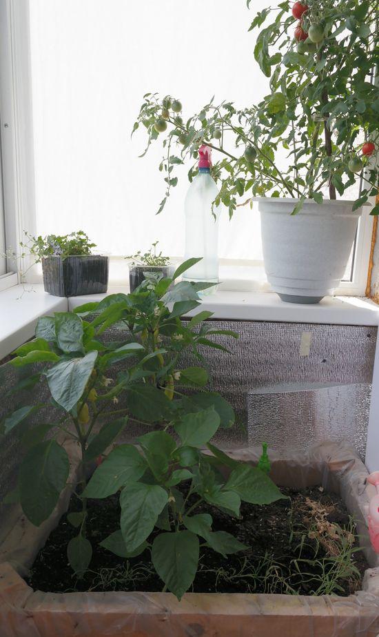 Снова огород на балконе