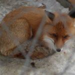 Снег в Сахаре и лисы в Златоусте