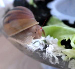 Гэрри обедает или Что едят улитки