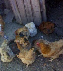 Курица - друг человека. Можно ли держать курицу в качестве домашнего питомца?